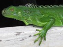 Habitants of the Keys _ Green Iguana